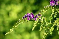 Фиолетовое Duranta Erecta цветет на дереве Duranta Erecta Стоковое Фото