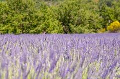 Фиолетовое fielt Lavander Стоковые Изображения