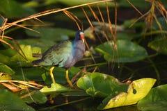 Фиолетовое Gallinule в болотистых низменностях Стоковое Фото