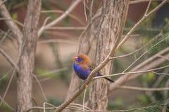 Фиолетовое ianthinogaster Uraeginthus Grenadier Стоковые Фото