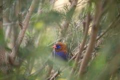 Фиолетовое ianthinogaster Uraeginthus Grenadier Стоковая Фотография RF