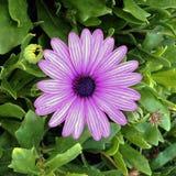 Фиолетовой маргаритка Striped страстью Стоковые Изображения RF