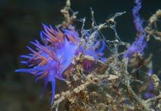 фиолетовые беспозвоночные Стоковое Фото