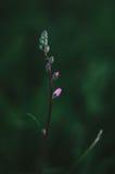 Фиолетовые бутоны цветка Стоковая Фотография
