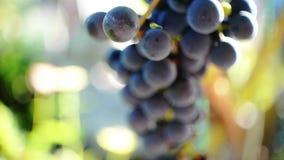Фиолетовые виноградины видеоматериал