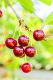 Фиолетовые вишни на ветви с листьями, подсвеченными Стоковые Изображения RF