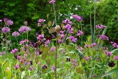 Фиолетовые двухлетние annua/честность Lunaria Стоковое Фото