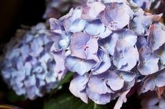 Фиолетовые/голубые pansies Стоковое Изображение