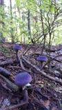 Фиолетовые грибы Стоковое Изображение