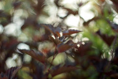 Фиолетовые декоративные листья стоковое изображение rf