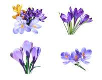 Фиолетовые изолированные цветки крокуса Стоковая Фотография