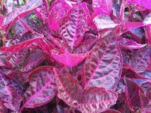 Фиолетовые листья цвета Стоковые Изображения