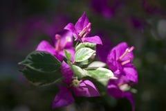 Фиолетовые лист Стоковые Фотографии RF