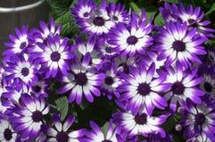 Фиолетовые и белые африканские маргаритки Стоковые Изображения RF