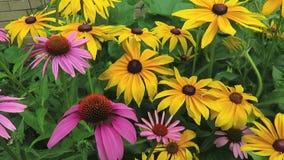 Фиолетовые и желтые ленивые цветки Сьюзана в июне сток-видео