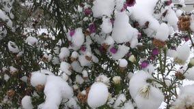 Фиолетовые и желтые цветки под снегом сток-видео