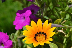 Фиолетовые и желтые цветки Стоковые Фотографии RF