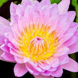 Фиолетовые лилия или лотос воды Стоковое фото RF