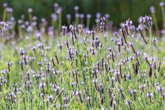 Фиолетовые и фиолетовые лаванды в поле лаванды Стоковое Изображение RF