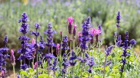 Фиолетовые и фиолетовые лаванды Стоковое Изображение RF