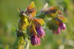 Фиолетовые колоколы на росном утре стоковые изображения