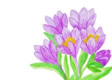 Фиолетовые крокусы, крася Стоковое Изображение RF