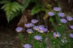 Фиолетовые маргаритки в лесе Стоковое Фото