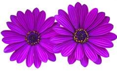 Фиолетовые маргаритки с космосом экземпляра Стоковые Изображения RF