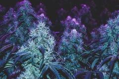 Фиолетовые медицинские бутоны марихуаны Стоковое Изображение
