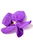 Фиолетовые орхидеи на изолированной предпосылке Стоковое Изображение