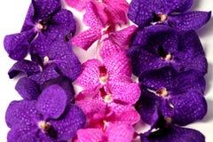 Фиолетовые орхидеи на изолированной предпосылке Стоковая Фотография