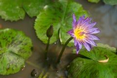 Фиолетовые лотос и lilypads звезды Стоковые Изображения