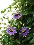 Фиолетовые пассифлоры помоха Стоковое Фото