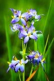 Фиолетовые полевые цветки в лесе, Чиангмае, Таиланде Стоковая Фотография