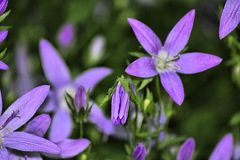 Фиолетовые полевые цветки в Дербишире Стоковое Изображение