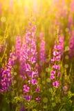 Фиолетовые полевые цветки Стоковое Изображение RF