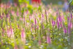 Фиолетовые полевые цветки стоковое изображение
