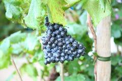 Фиолетовые разнообразия виноградины Стоковое Изображение RF