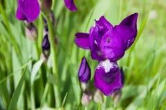 Фиолетовые радужка и насекомое Стоковые Изображения RF