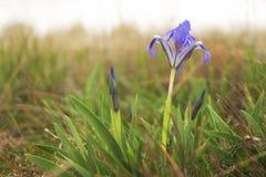 Фиолетовые радужки весны зацветая в степи Стоковая Фотография