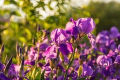 Фиолетовые радужки на зеленой предпосылке Стоковые Фотографии RF