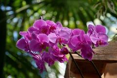 Фиолетовые розовые цветеня орхидеи Phalenopsis Стоковые Фотографии RF