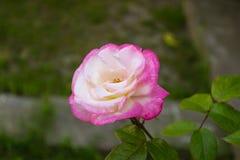 Фиолетовые розы в летнем дне Стоковые Фотографии RF