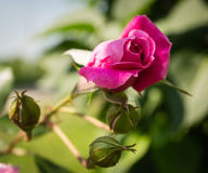 Фиолетовые розы в летнем дне Стоковое фото RF