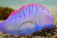 Фиолетовые рыбы студня Стоковые Изображения RF