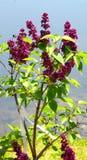 Фиолетовые сирени Blossoming против голубого неба Стоковые Изображения RF