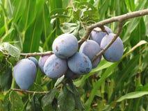 Фиолетовые сливы вися на дереве Италия Тоскана Стоковое фото RF