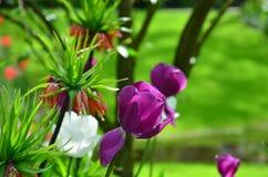 Фиолетовые тюльпаны, весной, под ярким солнцем в саде Keukenhof-Lisse, Голландия Стоковые Изображения