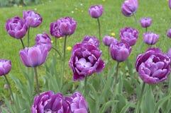 Фиолетовые тюльпаны в саде Стоковое Изображение RF