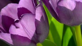 Фиолетовые тюльпаны в солнечном свете сток-видео